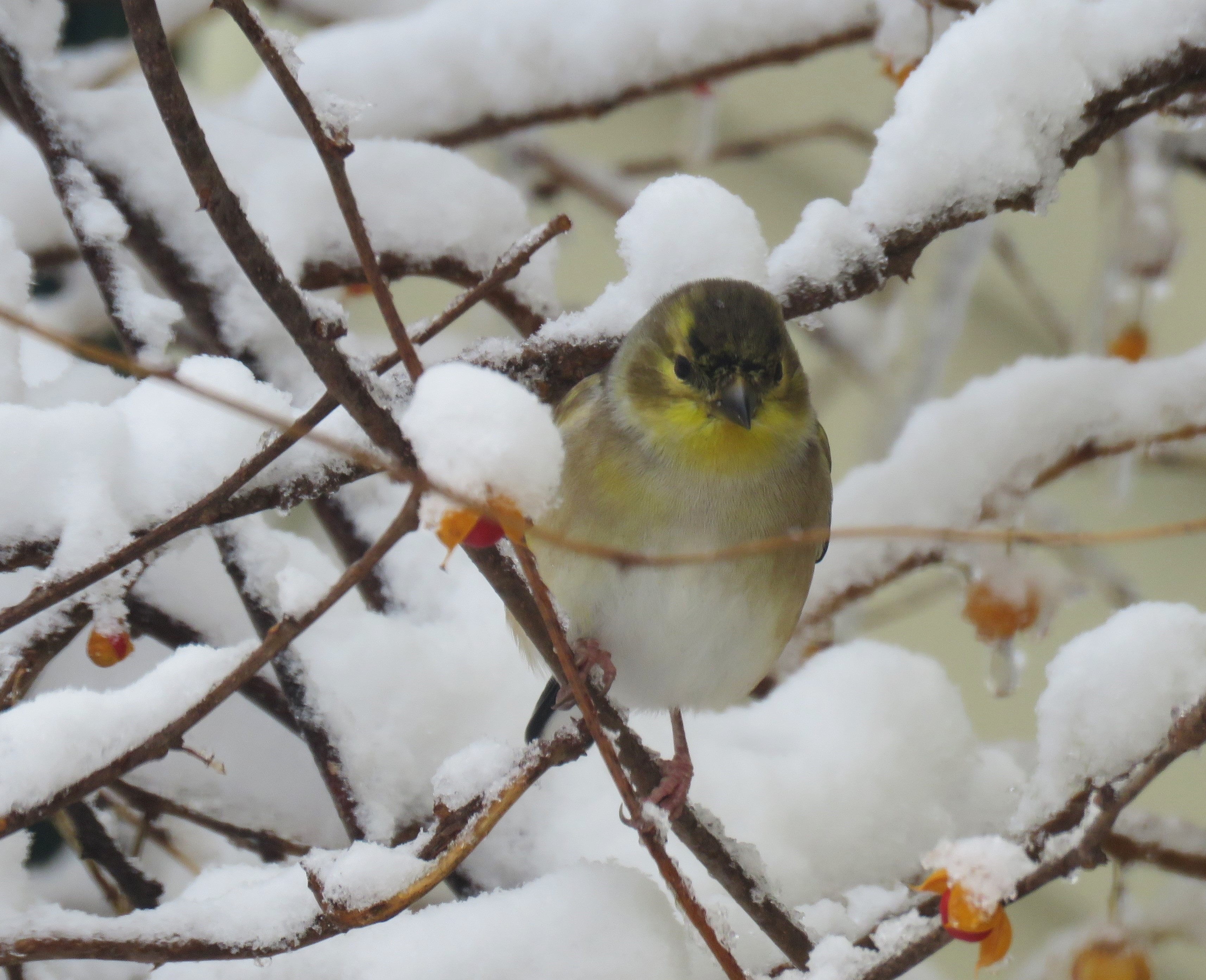 A goldfinch perched on a snow-covered branch