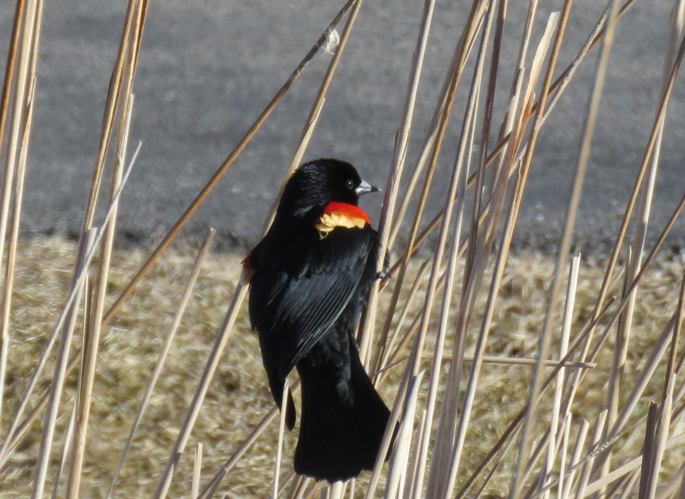 A Red-winged Blackbird perched on a reed
