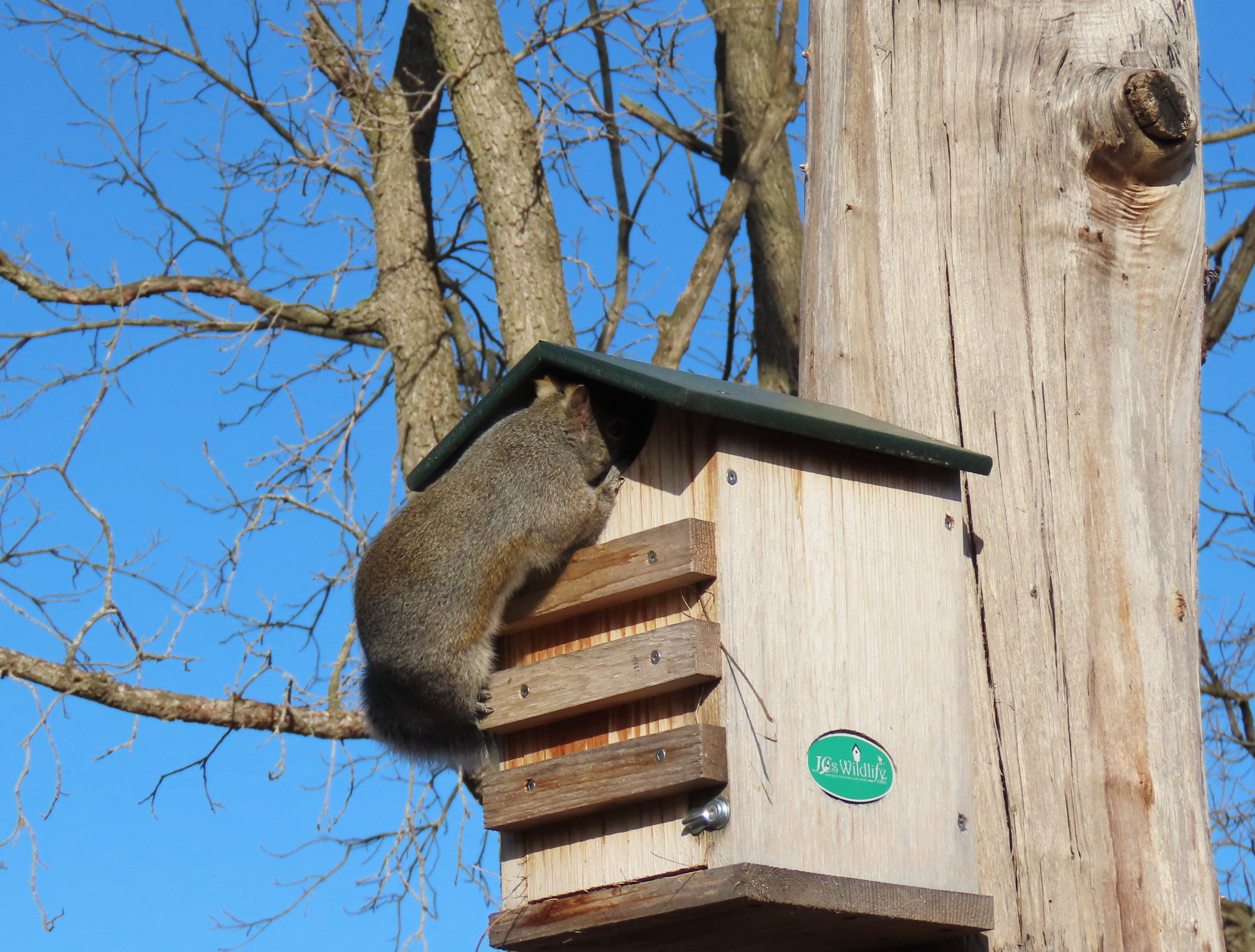 A squirrel looks into a nest box feeder