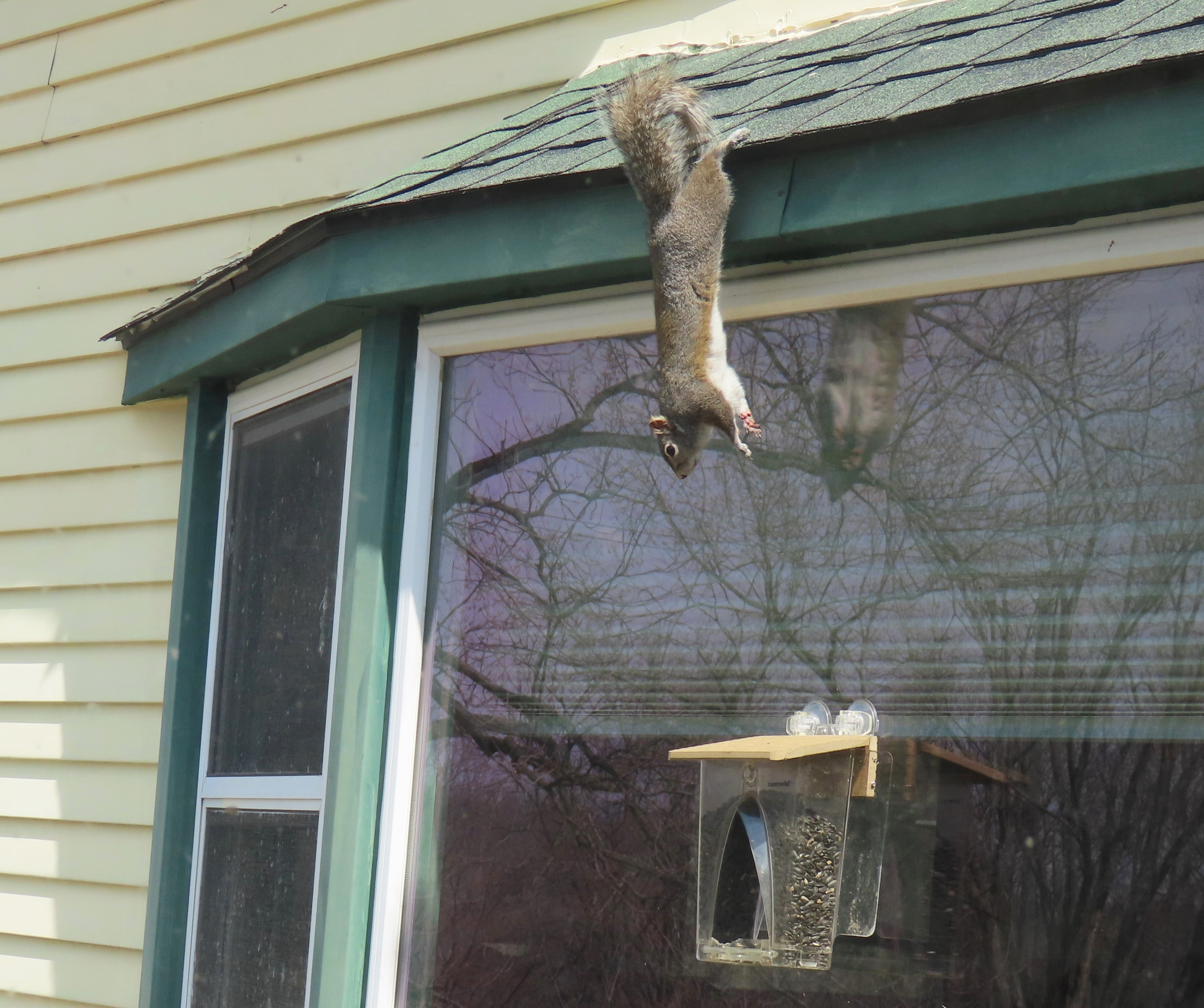 A gray squirrel jumps down from a roof onto a window bird feeder