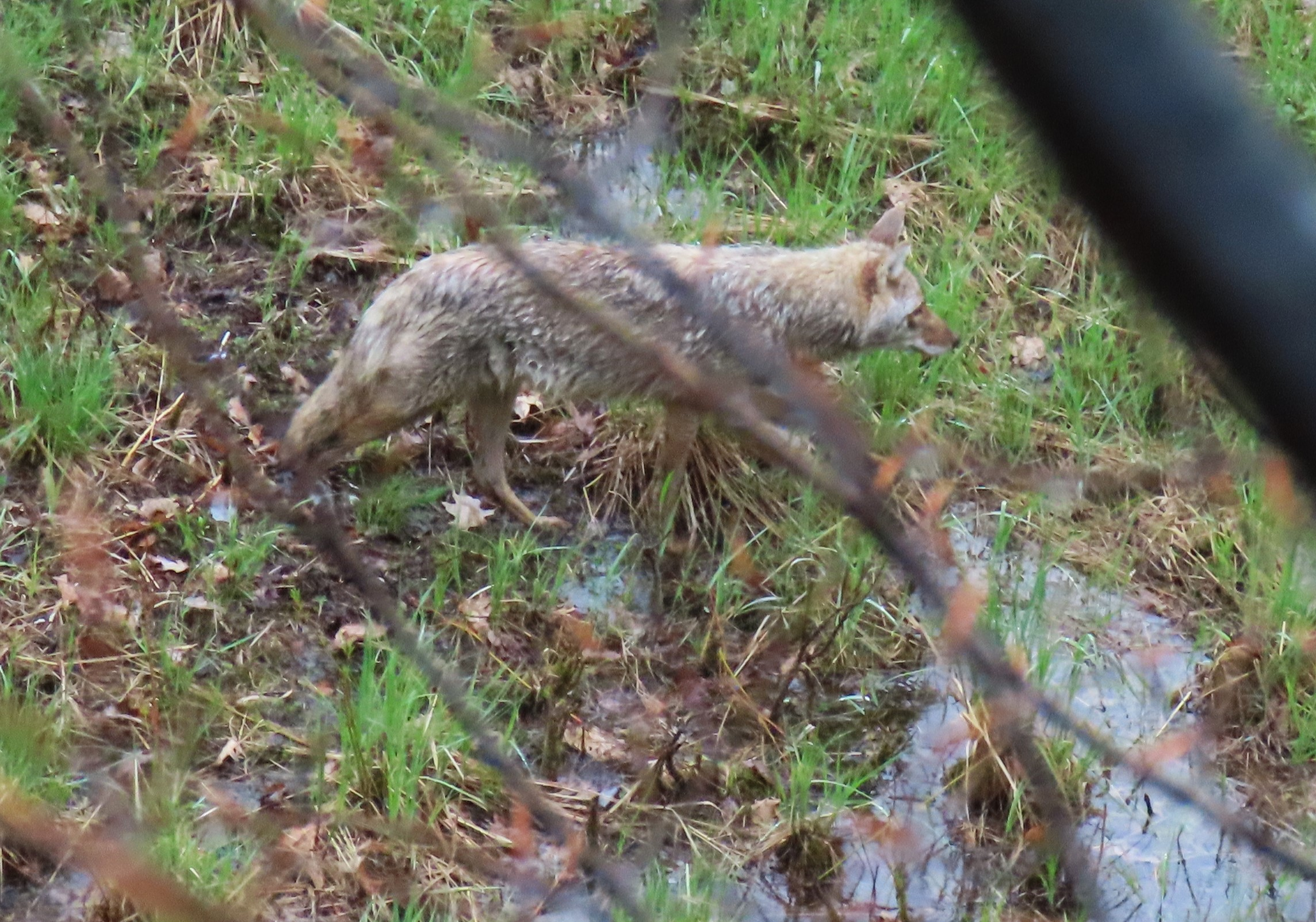 A photo (taken from above) of an eastern coyote walking through a grassy area