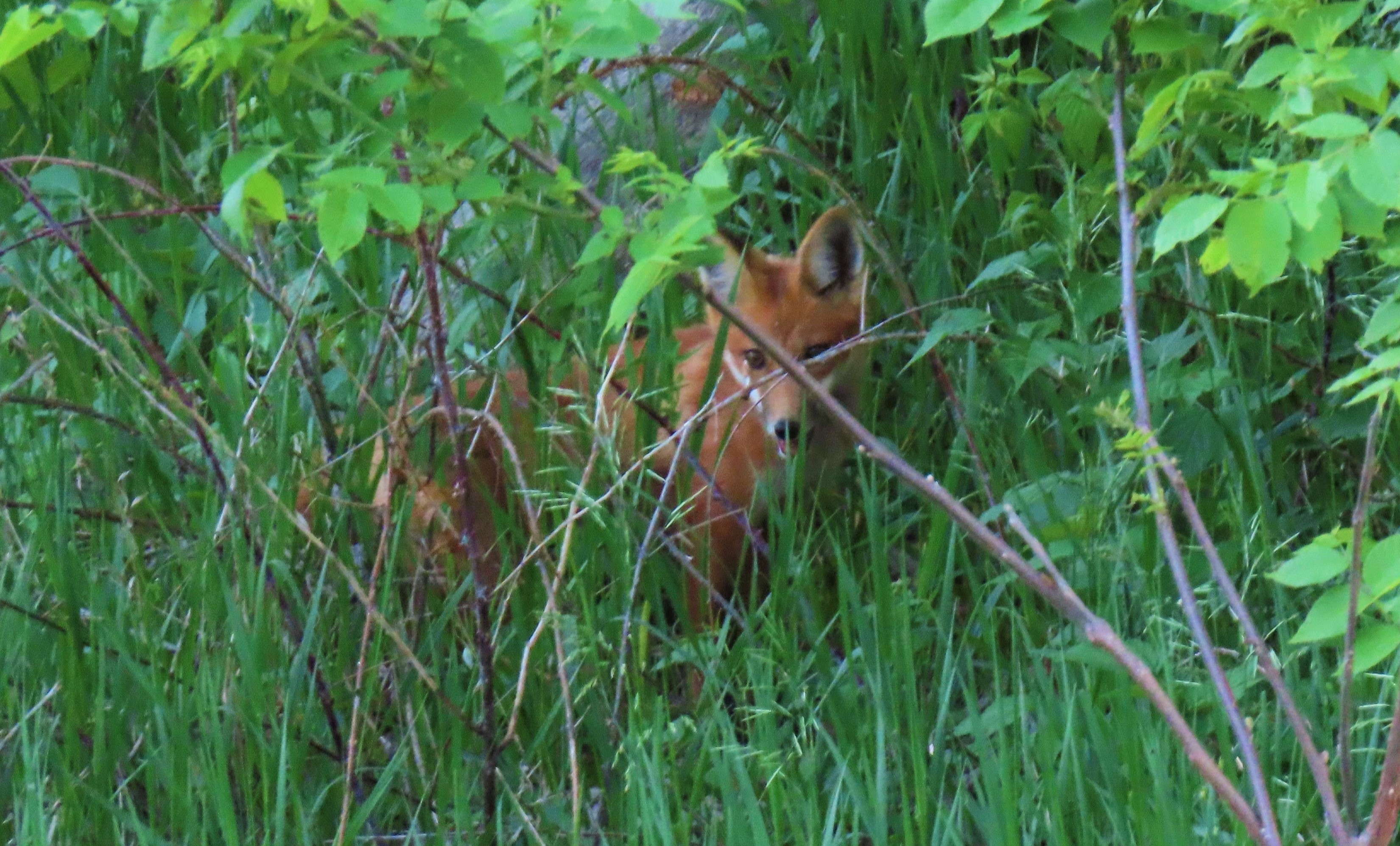 red fox watching me