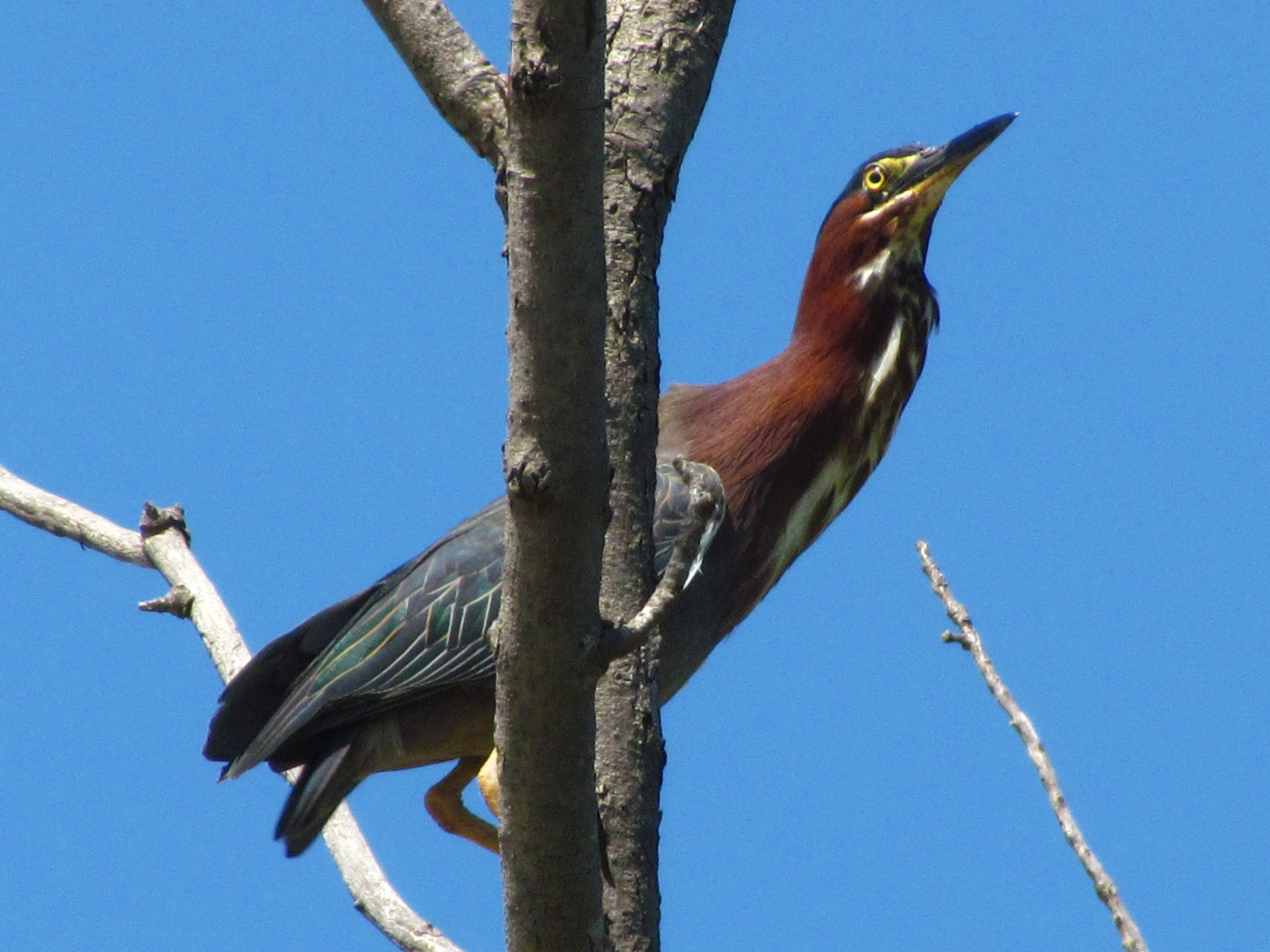 A green heron looks up from its perch on a branch