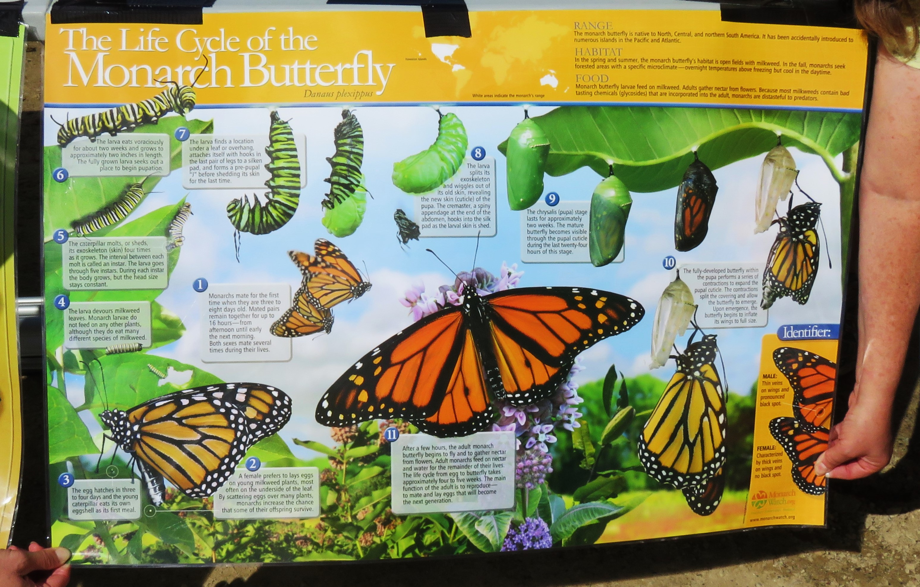 A poster that depicts the life cycle of a monarch butterfly