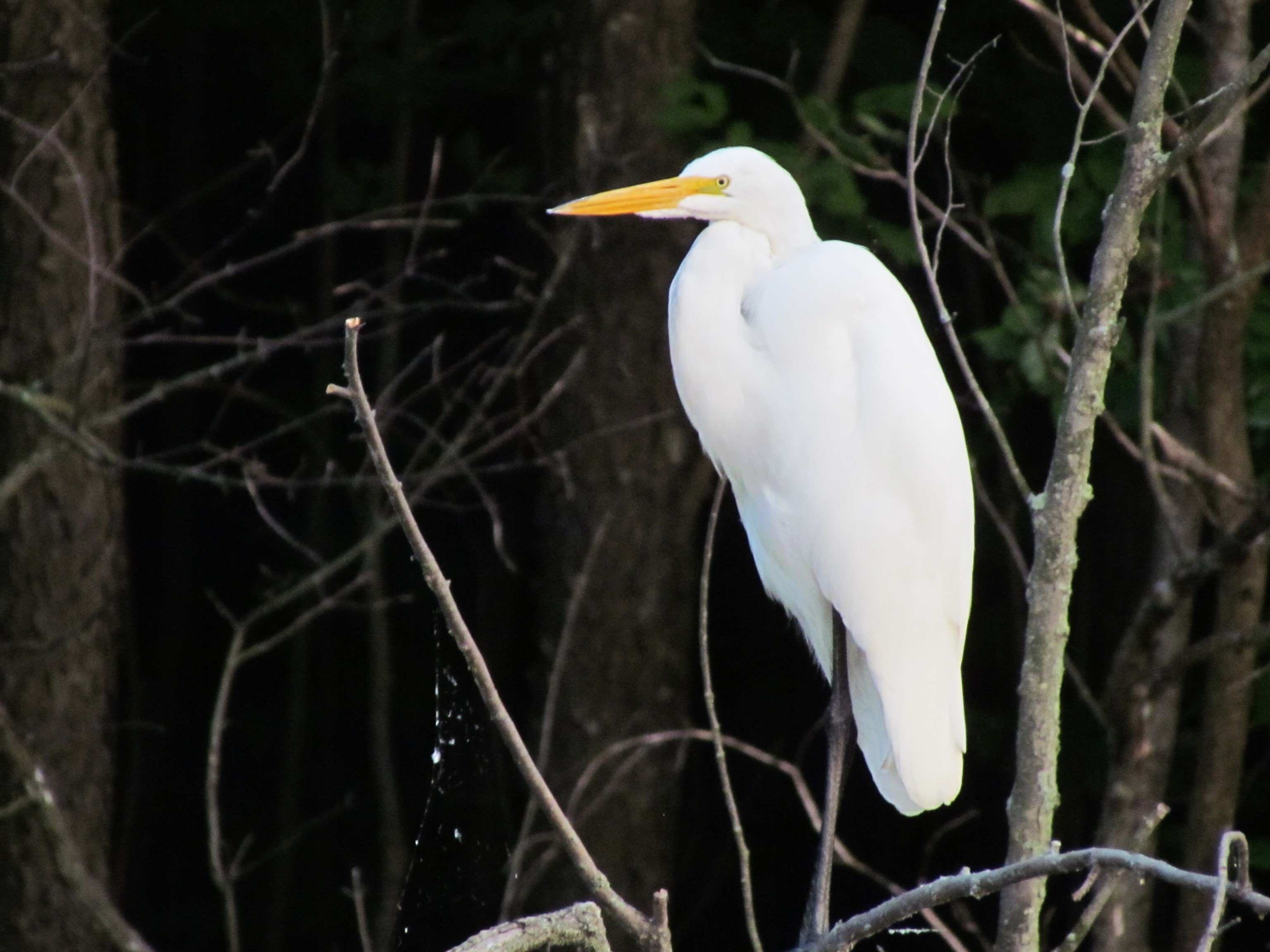 A great egret perched on a branch