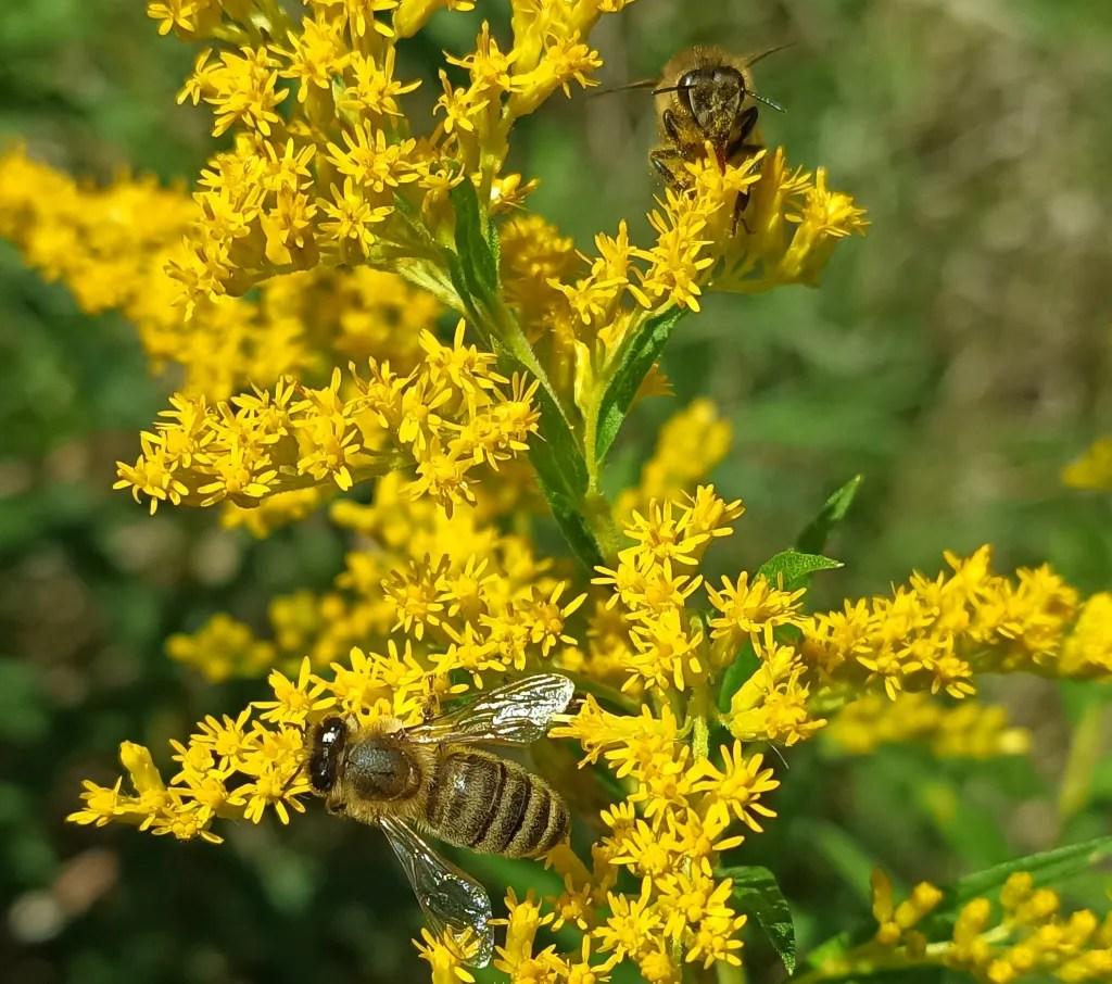 honey bees on goldenrod plant