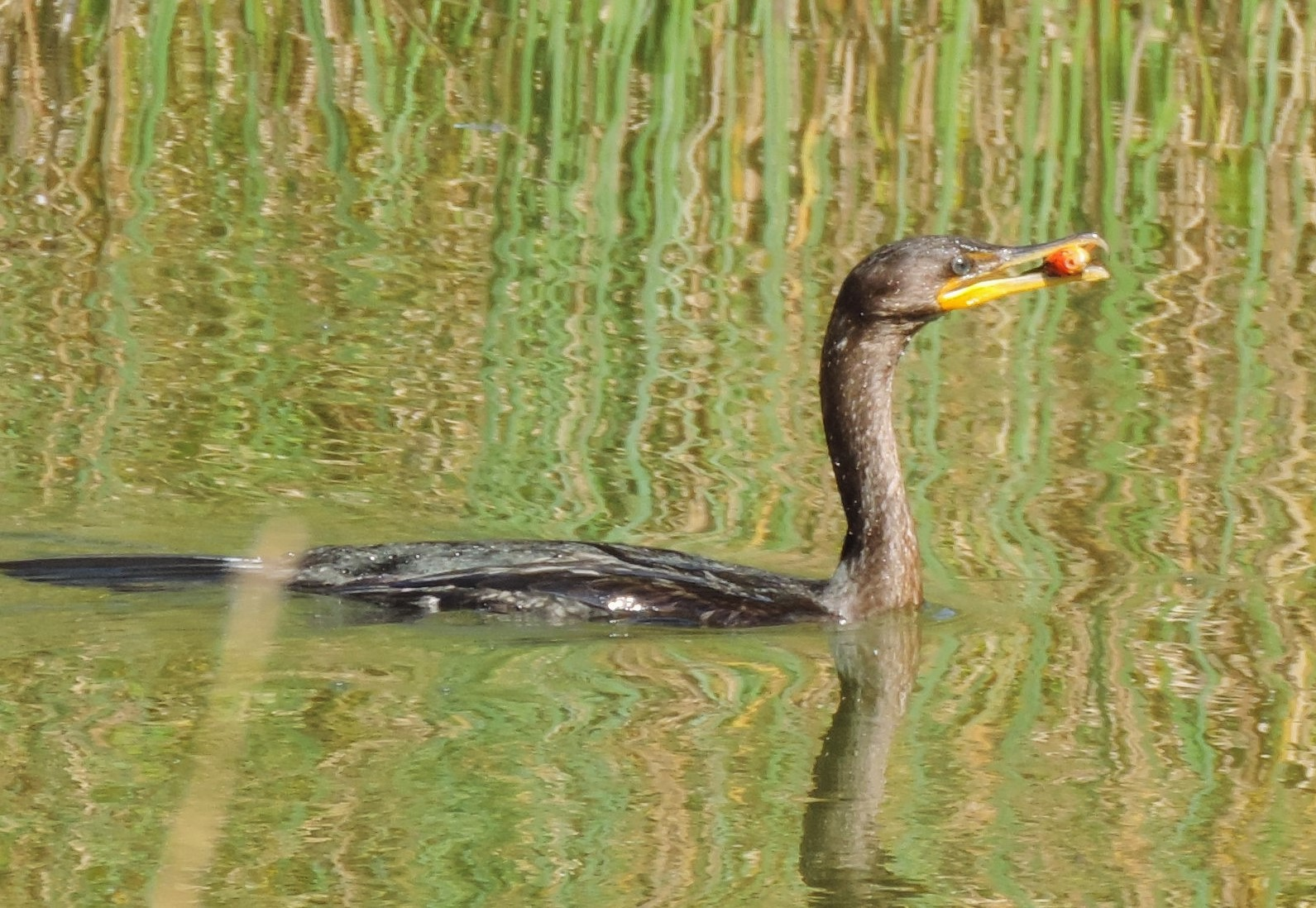 Cormorant with goldfish in mouth