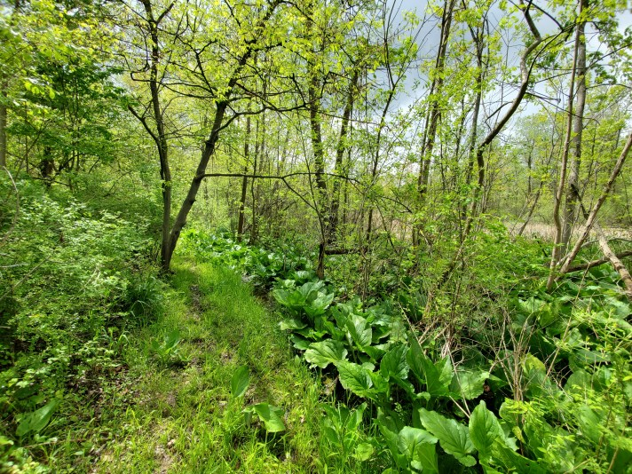 Native plants, like Skunk cabbage, provide resources for native animals and biota to thrive. Learn more about invasive species prevention and restoration here.
