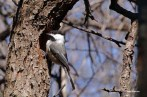 Chickadee with wood shaving on his head excavating a hole in a dead tree.