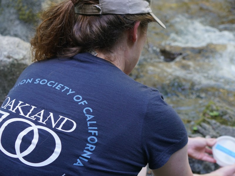 Oakland Zoo's Conservation Collaboration: First Ever Release Of Foothill Yellow-Legged Frogs