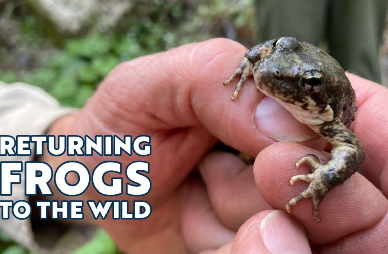 Oakland Zoo Is Returning Frogs To The Wild