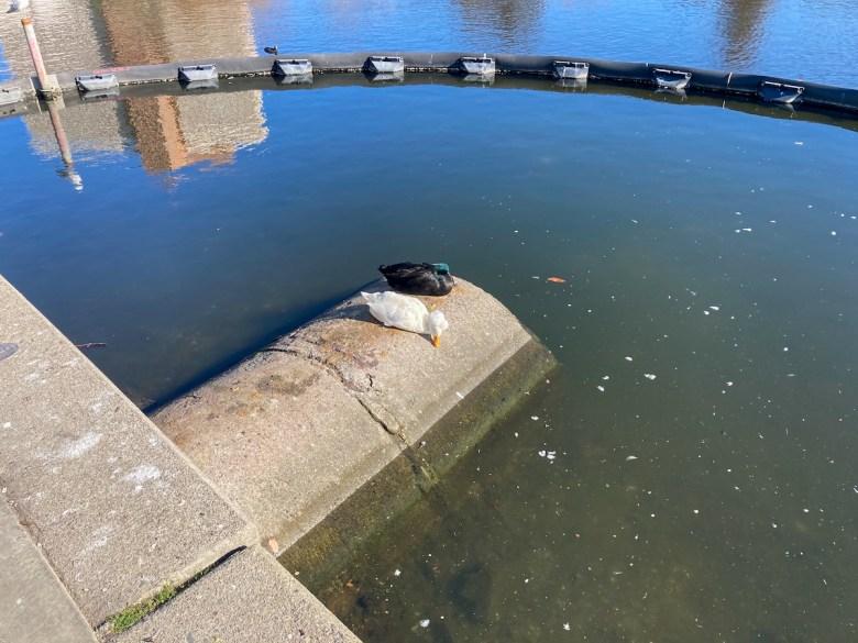 Polluted water surrounding the Lake Merritt ducks