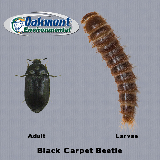 End Carpet Beetle Bites We Get Rid Of Beetles