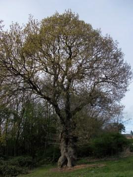Alderman oak showing leaves at a distance