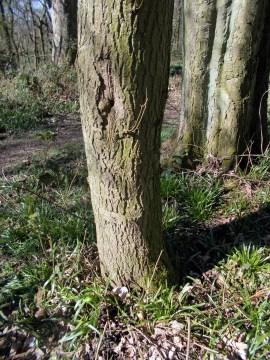 NuR 4 April tree 1 showing base of trunk