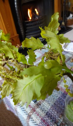 another picture of possible spangle gall