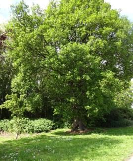 oak in full leaf