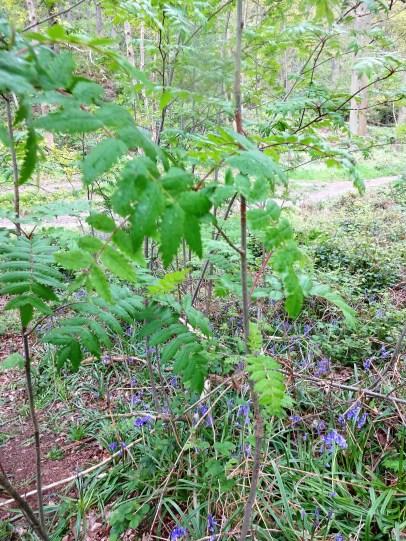 rowan saplings