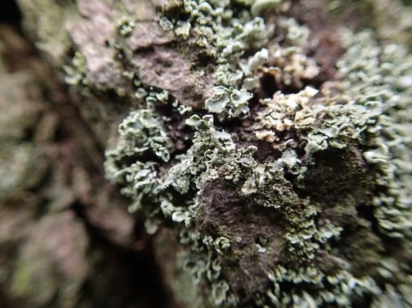 Cladonia coniocaria ? by Heather Kelly