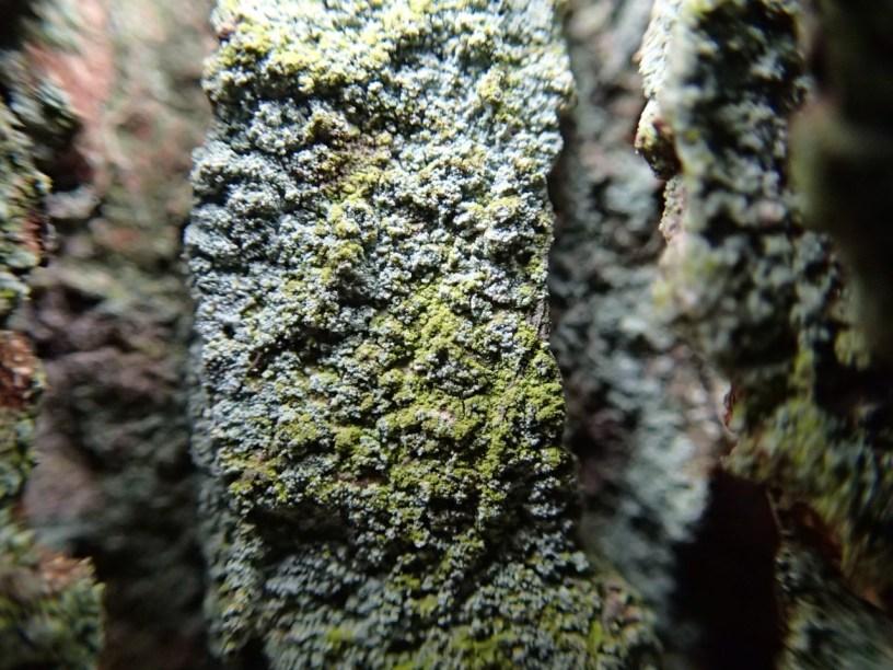 Lepraria incana? b Phot by Heather Kelly