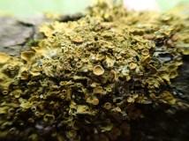 Xanthoria species by Heather Kelly