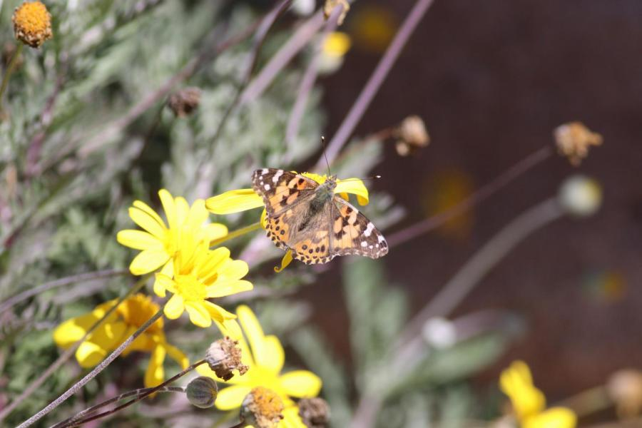 Caption%3A+In+a+time+where+butterfly+populations+are+dwindling%2C+painted+ladies+were+seen+fluttering+around+Southern+California+from+March+17+through+the+next+few+days%2C+as+they+migrated+up+the+coast+from+Mexico+headed+to+Oregon+for+mating+season+