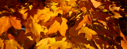 cropped-0-037-sugar-maple-orange-leaves-3.png
