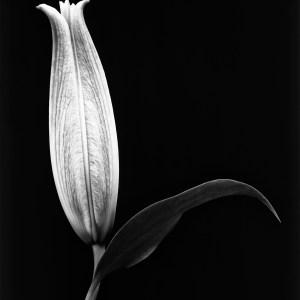 black and white aster lily photo Josh Wisotzkey