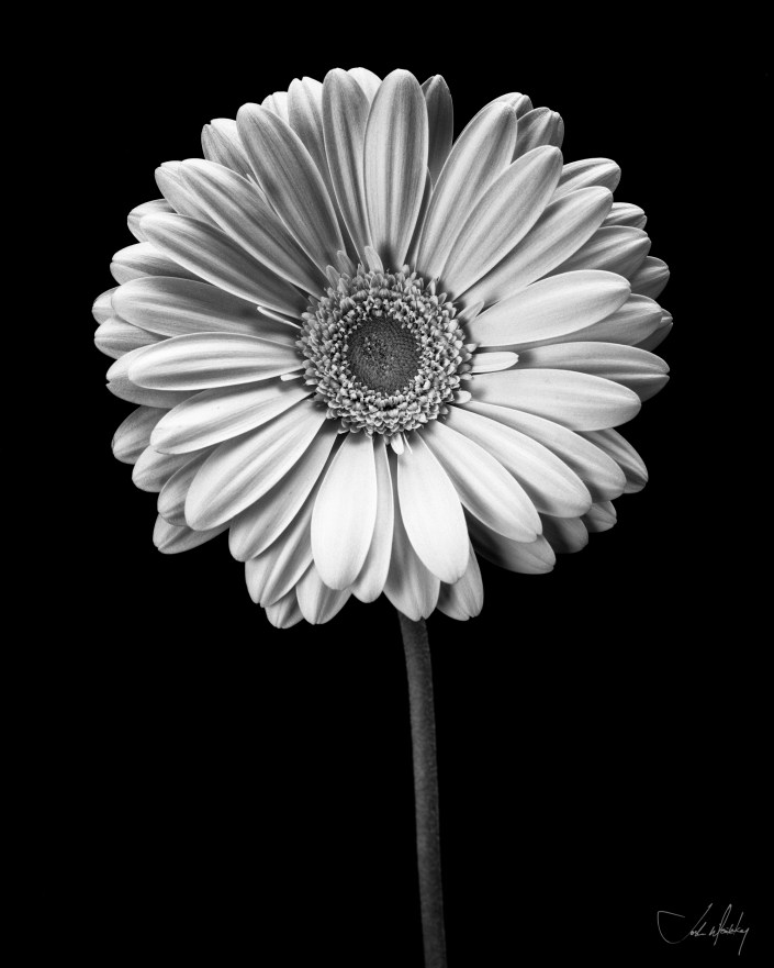 black and white gerber daisy photo Josh Wisotzkey