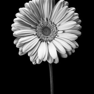 black and white gerber daisy photo Josh Wisotzkey
