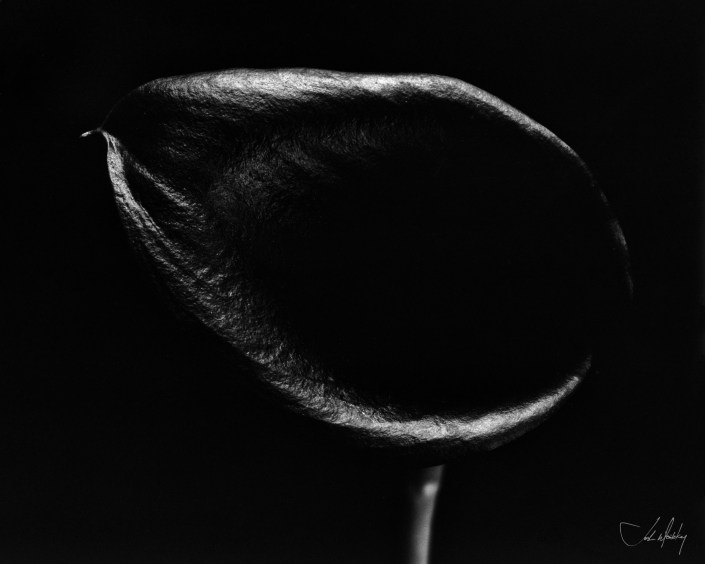 Black Calla Lilly black and white BW photograph Josh Wisotzkey
