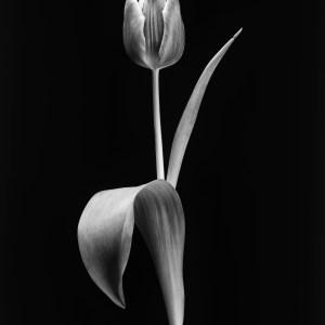 black and white tulip photograph Josh Wisotzkey