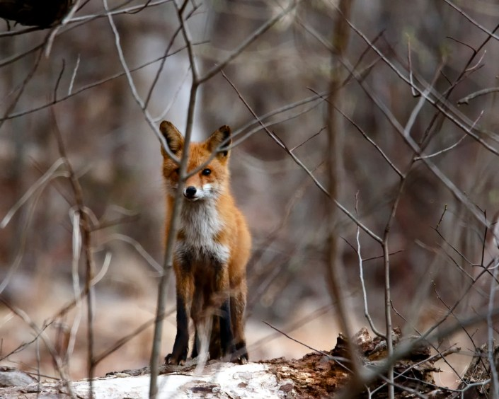 Adult Female Red Fox Josh Wisotzkey