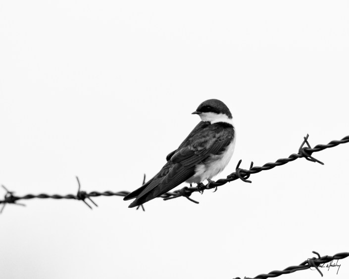Swallow on a wire black and white Josh Wisotzkey