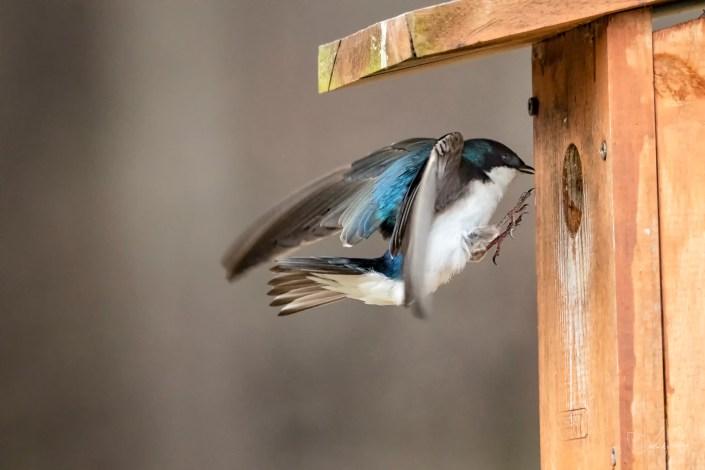 Swallow Coming Home Josh Wisotzkey
