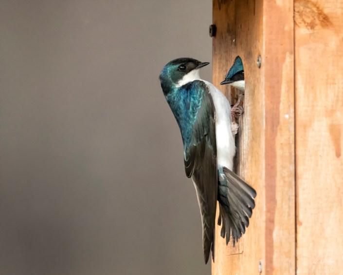 Pair of Swallows Josh Wisotzkey