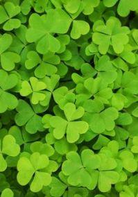 irish patriotic background of green shamrocks