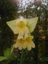 Chirita Closeup - Yellow