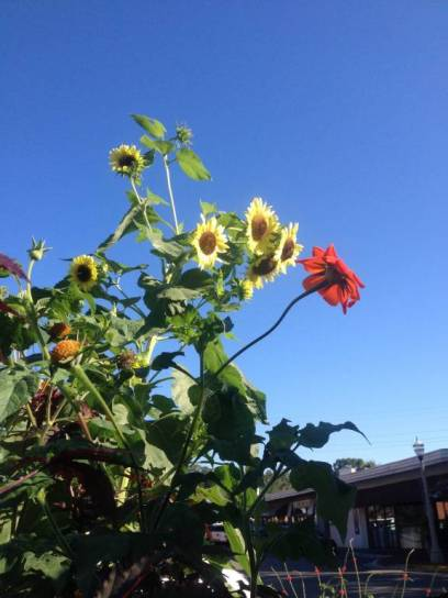 Community Garden - sunflowers and tithonia
