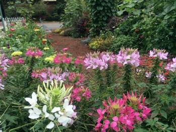 Cleome - Spider Flower...