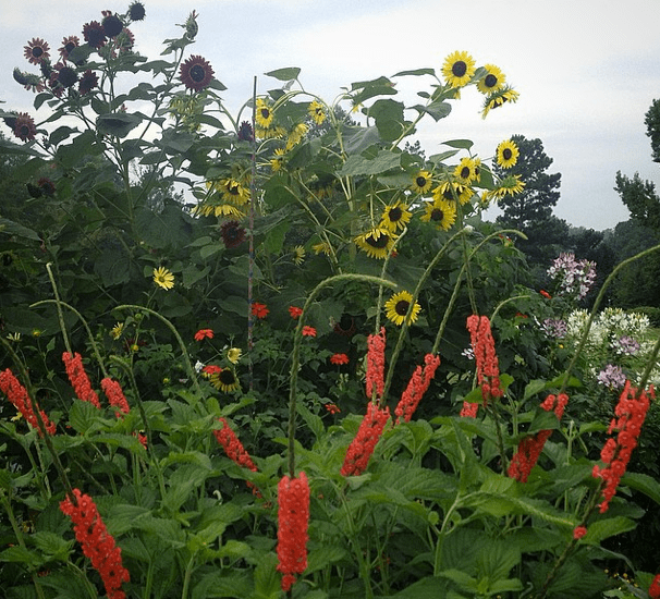 Porterweed and Sunflowers...