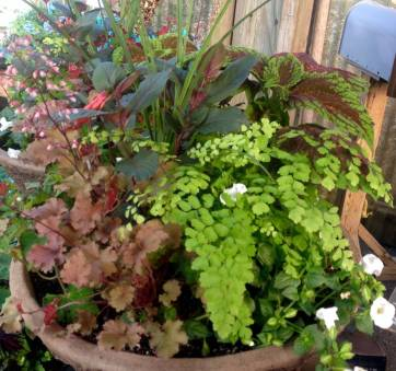 Container Garden For Shade - Heuchera, Gartenmeister Fuschia, Maidenhair Fern, Torenia