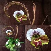 Bulldog lady slipper orchid arrangement