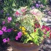 Container Garden - Summer 2017 - Caladium, Verbena Lollipop, Euphorbia, Vista Bubblegum Petunia, Zinnia, Potato Vine