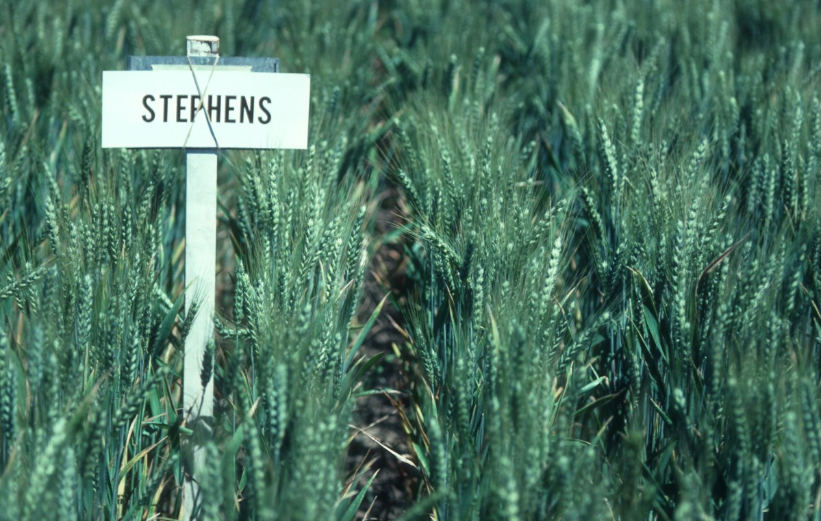 Stephens wheat plot