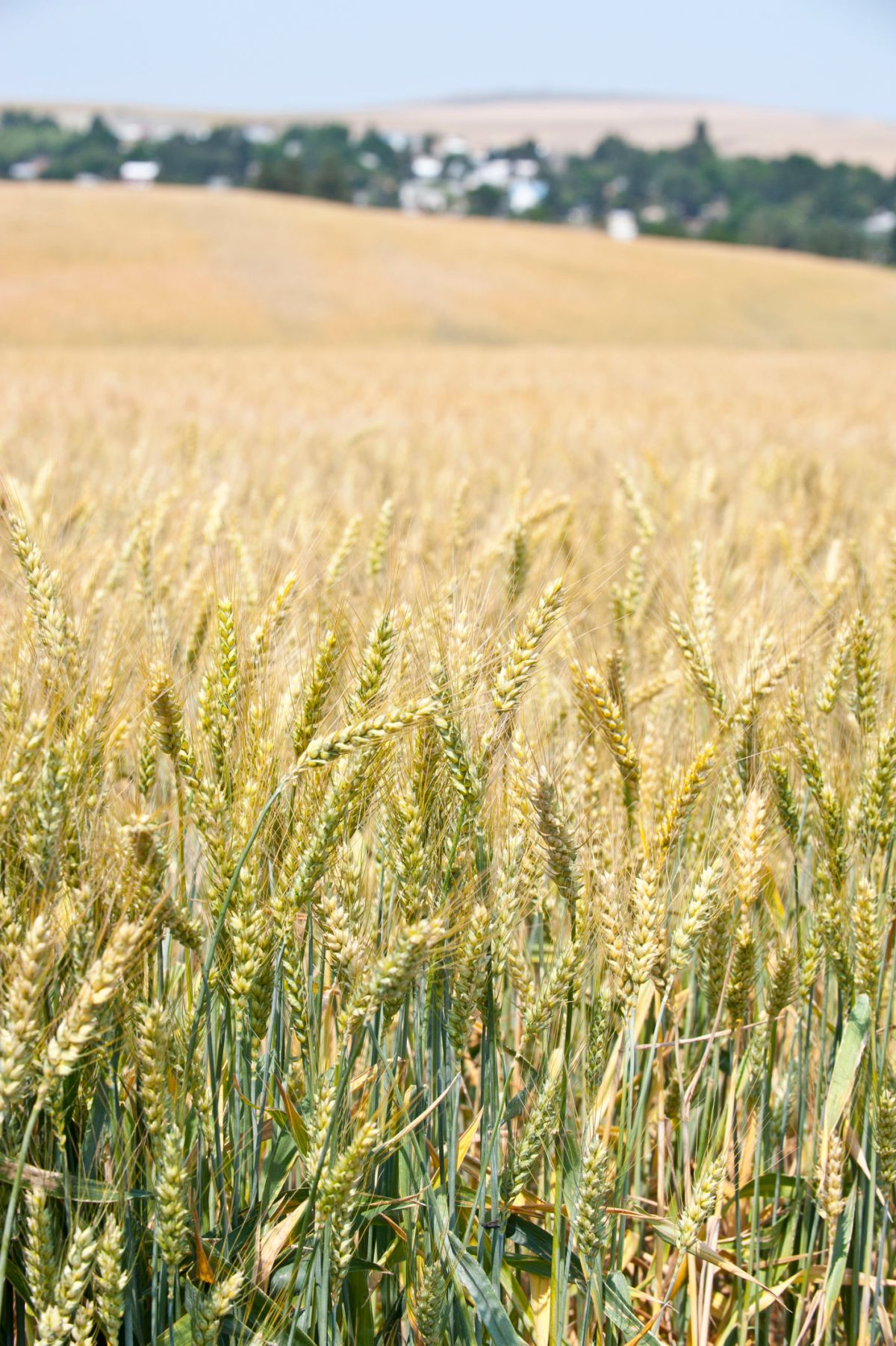 Moro, Oregon in Sherman County lies in the midst of wheat country.