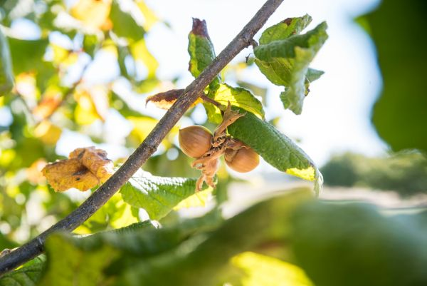 OSU's newest hazelnut release is named Polly O after Polly Owen, who has worked tirelessly for the industry.