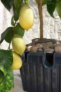 The Success story of the Oasesbox Lemon Tree.