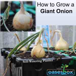 Can you grow Giant Onions successful in your Self-Watering Planter Oasesbox?