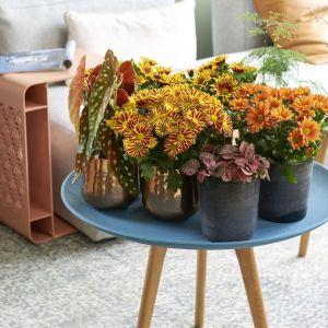 imagen crisantemo origen Oficina Holandesa de Flores